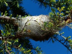 Nido en un pino Foto de Pixabay